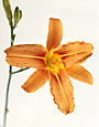 Asian Lilly